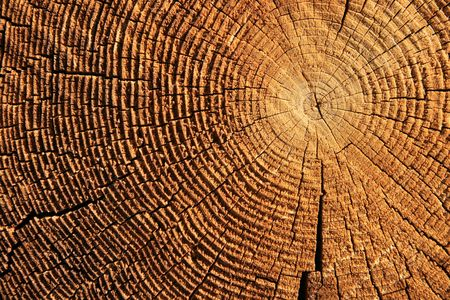 sawed: growth rings on the end of a brown sawed log