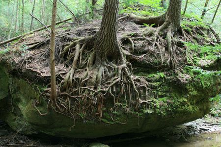exposed: trees with exposed roots growing on top of a boulder