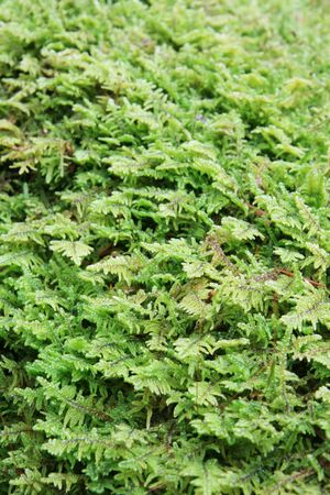 vertical image of green moss for background Stock Photo - 5816642