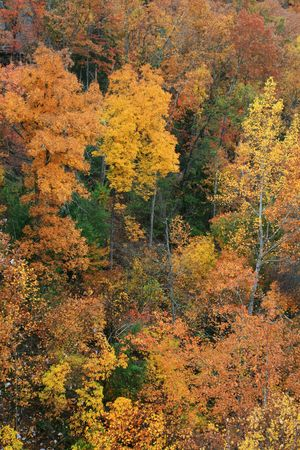 bright yellow and red fall foliage contrasted against a few evergreen trees Stock Photo - 5863903