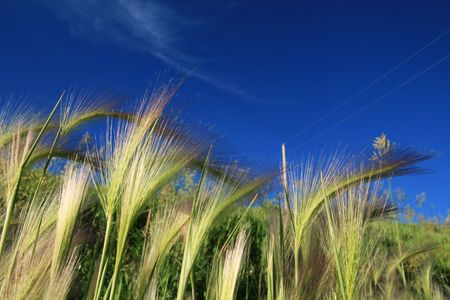 close up of grass seed heads with a blue sky background Stock Photo - 5863908