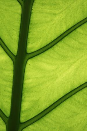bright tropical green elephant ear leaf detail Reklamní fotografie