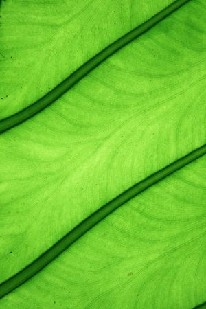 closeup large tropical green elephant ear leaf detail