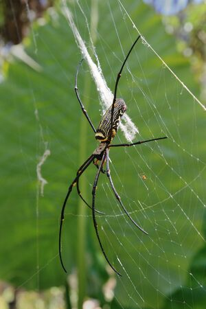 large female and tiny male golden orb weaver spider in Thailand Stock Photo - 6725662
