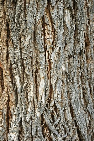 vertical image of the bark on an old cottonwood (populus fremontii) tree trunk Stock Photo - 7034921