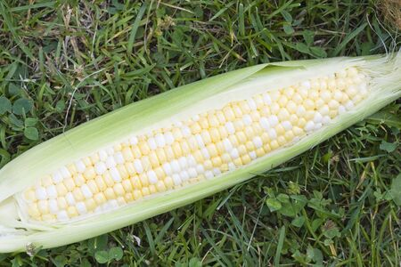 shucked: a partially shucked ear of fresh sweet corn on the grass