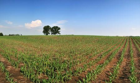 Midwestern maïs veld panorama in het voorjaar