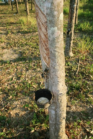 a rubber tree with latex sap being collected in a cup