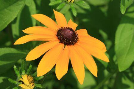 close up of yellow black-eyed susan flower Stock Photo - 7266760