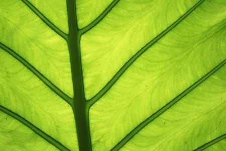 가로 대형 열대 녹색 코끼리 귀 잎 세부