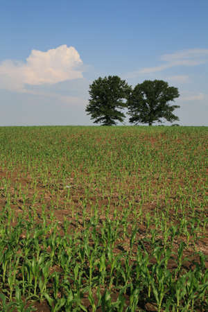 vertical image of midwestern corn field with two trees on the horizon Stock Photo - 7361087