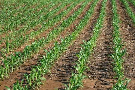 rows of young corn plants on a midwestern farm Stock Photo - 7392876