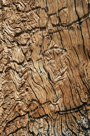 wavy wood grain from old mountain pine tree trunk photo