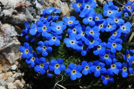 blue and yellow macro of alpine forget-me-not flowers from high mountain meadow in Wyoming