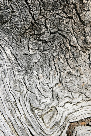 twisted gray pine wood from old alpine pine tree trunk photo