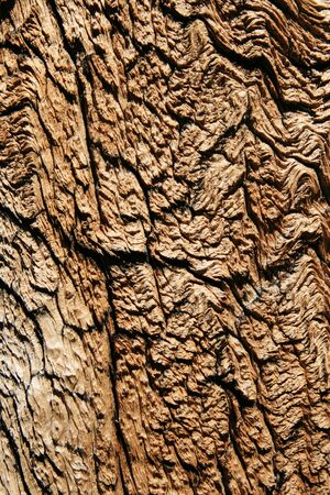 weathered old mountain pine tree trunk with cracked wood grain photo