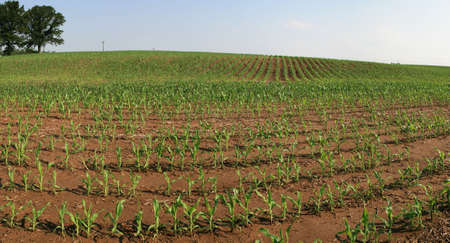 midwestern corn field panorama in the spring Stock Photo - 7719932