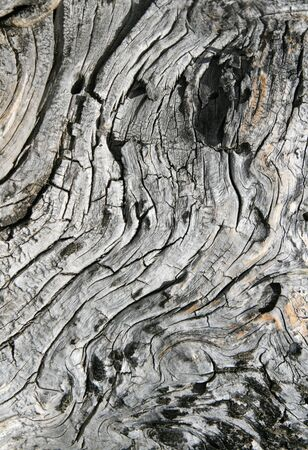 cracked twisted gray wood from an old dead pine tree trunk
