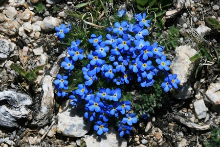 detail of small blue alpine forget-me-not flowers on a high mountain meadow Stock Photo - 8039949