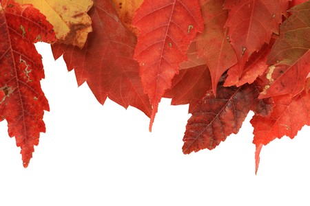 red fall leaves along one edge of a white background Stock Photo - 8039942