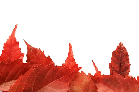 red fall leaves along one side of a white background making a border Stock Photo - 8161205
