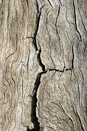 cracked old pine wood with contorted grain