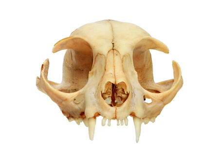 the front of a domestic cat skull isolated on white background Stock Photo - 8379502
