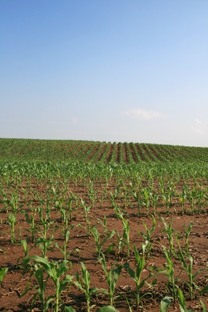vertical image of midwestern cornfield with copy space in the sky Stock Photo - 8467704