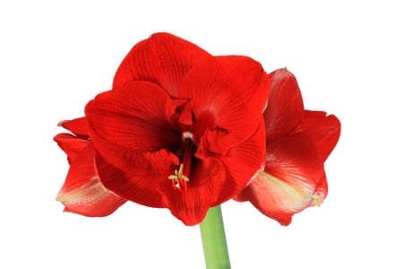 large red amaryllis flower isolated on white background Stock Photo - 8513811