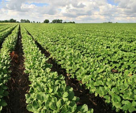 soya bean: granja con campo de soja con hileras de plantas de frijol de soja Foto de archivo