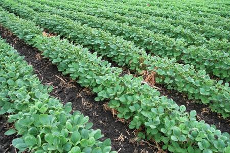 soya bean: campo de soja con hileras de plantas de frijol de soja en el suelo h�medo oscuro
