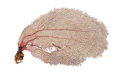 ventilatore corallo isolato su sfondo bianco