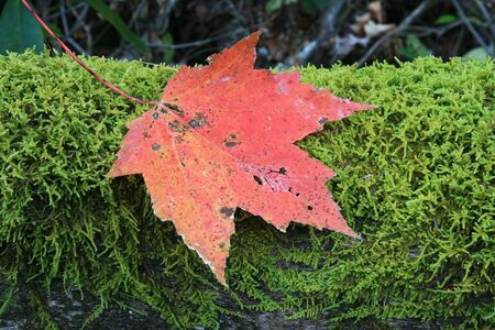 red fall maple leaf on green moss on a log Stock Photo - 8954305