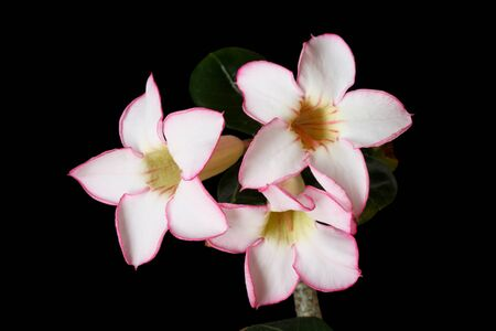 adenium: desert rose or Adenium obesum flowers with black background Stock Photo