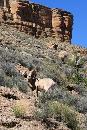 ovis: desert bighorn sheep or Ovis canadensis nelsoni ram on the Tonto Plateau in the Grand Canyon of Arizona