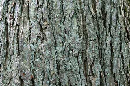 image of large mature american elm (Ulmus americana) bark
