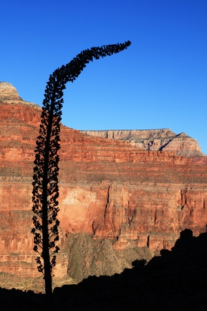 agave stalk silhouette in the Grand Canyon, Arizona Stock Photo - 9312109