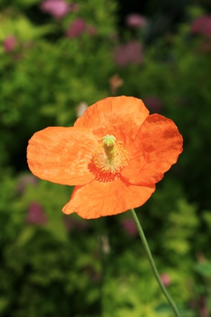 bright orange poppy flower with out of focus flowers in the background Stock Photo - 9408328