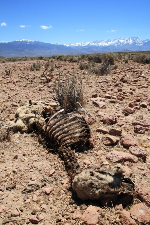 desiccated: dead sheep carcass that has been picked over by scavengers and desiccated in the desert sun with distant mountains