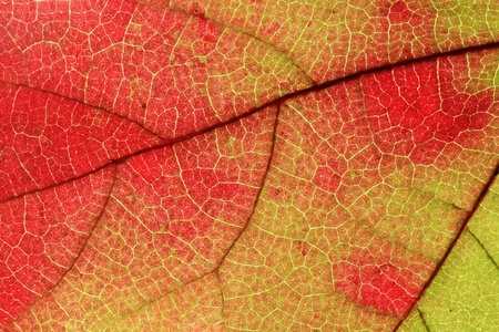 textures: macro image of fall maple leaf turning from green to red Stock Photo