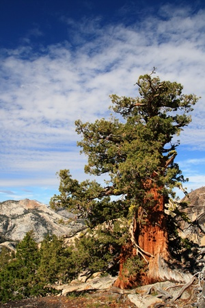 juniper tree: Sierra Juniper or Juniperus occidentalis tree in Yosemite National Park