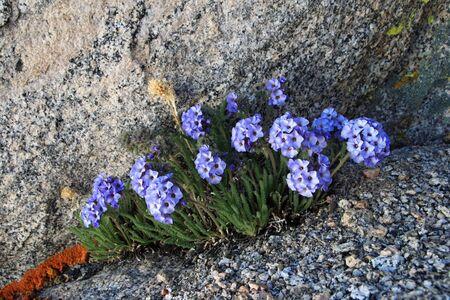 sky pilot or polemonium flowers grow between granite boulders in the Sierra Nevada mountains Stock Photo - 11454271