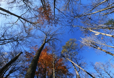 temperate: wide angle image of fall tree tops looking up with most leaves fallen