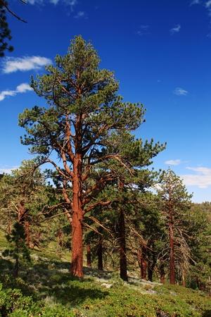 Ponderosa Pine tree on the eastern slope of the Sierra Nevada Mountains Stock Photo - 11731426