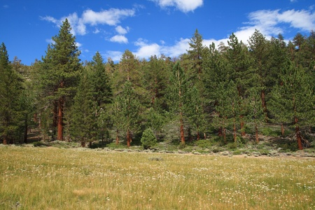 Meadow in the Sierra Nevada mountains in California with white flowers and pine trees Stock Photo - 11731452