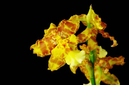 yellow and orange brown intergeneric orchid flower on black background Reklamní fotografie