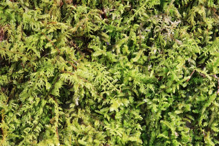 green moss background close up macro image Stock Photo - 12712027