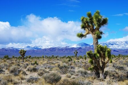 high desert: Joshua Trees in the high desert of Nevada with snow covered mountains in the distance