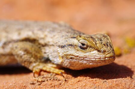 critter: macro of the head of a western fence lizard Sceloporus occidentalis  Stock Photo