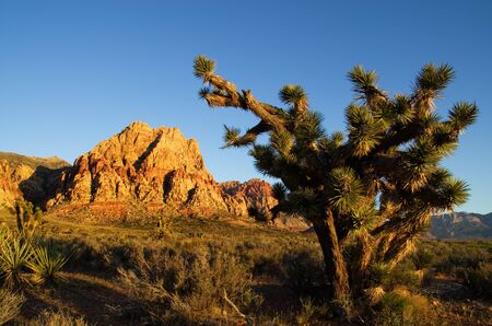 wilson: Joshua Tree and Mount Wilson at the Red Rock Canyon Conservation Area lit up by morning light